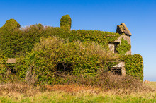 Derelict House Completely Covered In Green Vegetation Under A Clear Blue Sky In County Wicklow, Ireland. Nature Taking Over. Ruins Invaded By Ivy. Abandoned Cottage In The Irish Countryside.