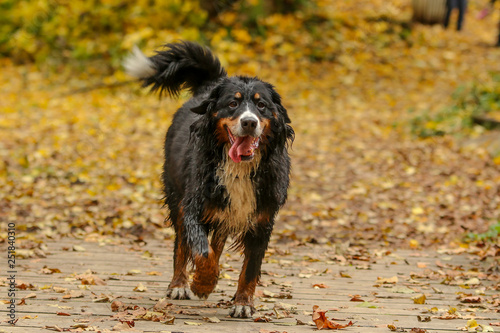 Fotografie, Obraz  A portrait picture of the adult Bernese Mountain dog in the leaves in the autumn forest