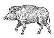 Wild Boar, Pig Or Swine, Forest Animal. Symbol Of The North. Vintage Monochrome Style. Mammal In Eurasia. Engraved Hand Drawn Sketch For Banner Or Label.