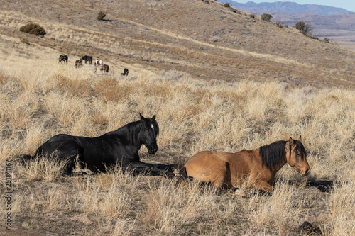 Photo  Wild Horses in the Utah Desert in Winter