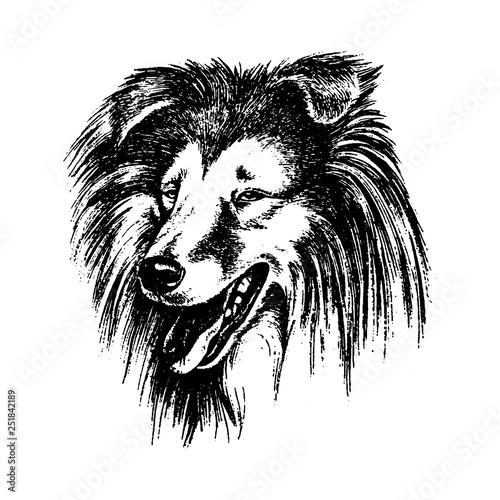 Fototapety, obrazy: Vector hand drawn dog collie vintage illustration
