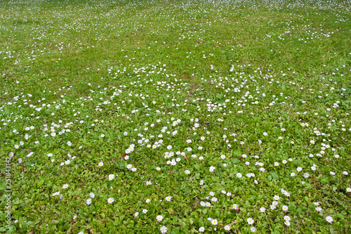 Fototapeta  Green lawn with lot of daisies.