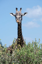 African Giraffe Is Curious And...