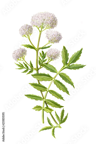 Photo  Valerian Pencil Drawing Isolated on White