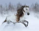 Szary długi grzywa koń andaluzyjski galopujący podczas śnieżycy. - 251856998