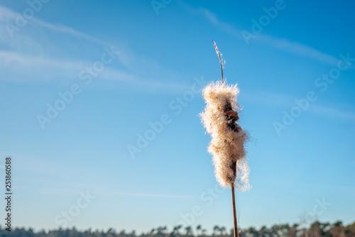 Fotografia, Obraz  Fluffy flower spike of a Bulrush or Typha latifolia plant