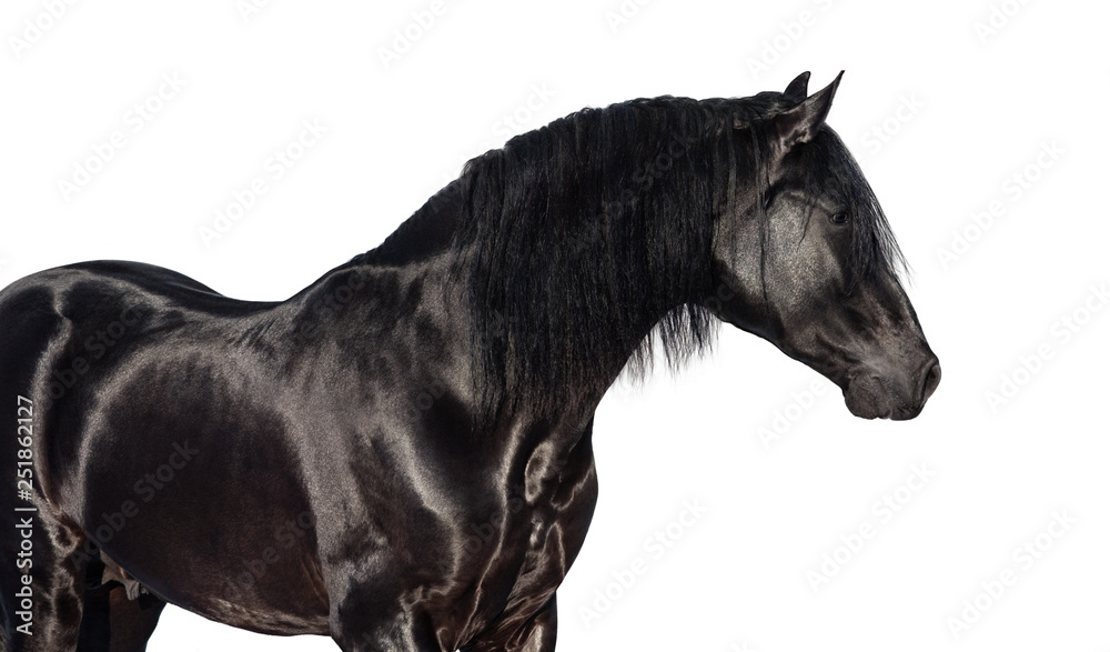 Portrait of black Pura Spanish horse.