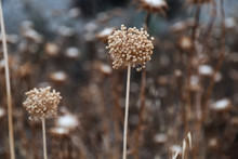 Dried Up Yellow Brown Flowers With Spherical Blossom
