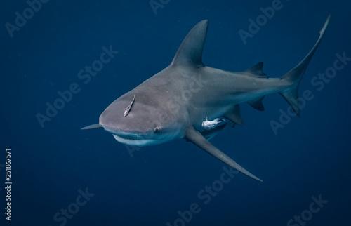 Photo Bull Shark in Florida