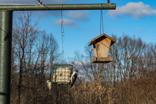 Downy Woodpecker And Black-Capped Chickadee Perched On A Suet Feeder Together Against A Bright Blue Sky