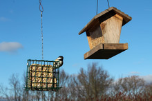 Black-Capped Chickadee Perched On Suet Feeder Near Edge Of Woods With Blue Sky