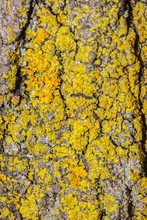 Lichens On Tree Bark