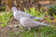 Close Up Portrait Ogf A Eurasian Collared Dove (streptopelia Decaocto)