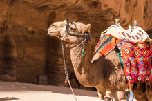 Camel Desert Animal Profile Po...