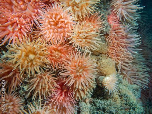 Fototapeta Podwodne ujęcie kolorowych anemonów żyjących w arktycznych wodach. obraz