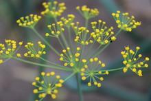 Dill Umbrella. Natural Floral Background