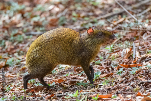 Agouti, Dasyprocta punctata, animal in the forest in Costa Rica Wallpaper Mural