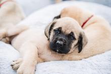 Mastiff Puppy