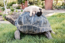 Mastiff Sleeping On Turtle