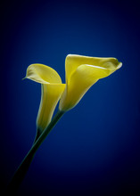 Calla Lily On Blue Background