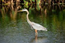 Great Blue Heron Bird. Florida. USA.