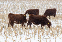Cows On A Snowy Day