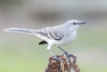 Mockingbird Eating Backyard Ho...