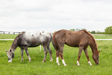 An Appaloosa and a roan pony graze with tails touching like bookeneds.