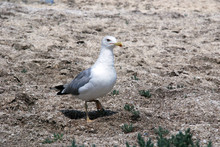 Seagull Walking On The Sea Grass On The Shore