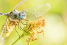 Dragonfly With Blue Big Eye Are Eating Honeydew On Flowers With Bokeh Of Nature Background.