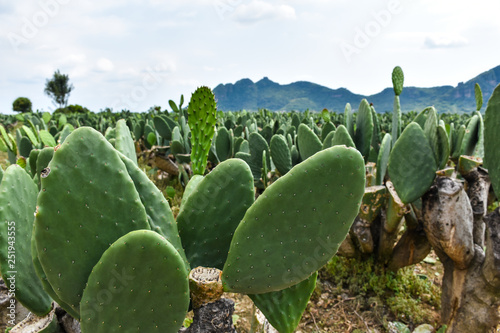 Photo Plantación de nopales o cactus en Mexico