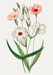 FototapetaViscaria flower