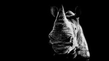 Portrait Of A Smiling Rhinoceros On A Black Background