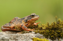 A Common Frog Or European Comm...