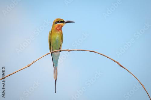 Fotografie, Obraz  Blue-tailed bee-eater, bird