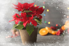 View On Poinsettia In Pot Through Glass Window With Snow