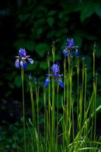 Purple Beautiful Wild Iris Flower In Summer
