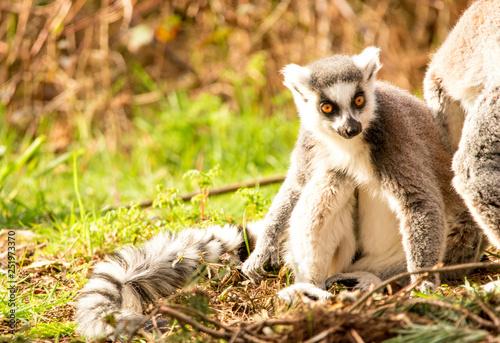 Photo  Lemur