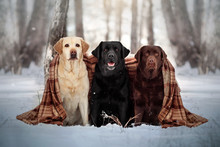 Three Labrador Retriever Dogs...