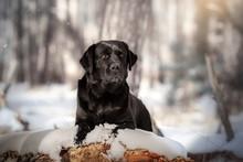 Labrador Retriever Black Beautiful Portrait In The Winter Snowy Forest Magical Light