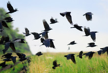 Flock Of Black Birds Crows And Rooks Fly Flock Over Plem In Autumn Against Blue Sky