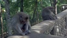Two Monkeys Sleeping The Head Down Between The Knees