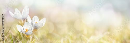 Fotoposter Lente Spring, Crocus Flowers, xxl+more: bartussek.xmstore