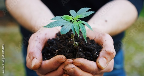 Photo  Close up of agronome hands keeping a sprout of biological and ecological hemp plants used for herbal pharmaceutical cbd oil outside the greenhouse
