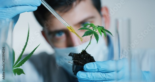 Fototapeta Portrait of scientist with mask and gloves checking and analizing with a dropplet a biological and ecological hemp plant used for herbal pharmaceutical cbd oil in a laboratory. obraz