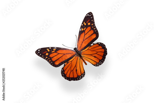 Fotografie, Obraz  tropical butterfly Danaus plexippus. isolated on white background