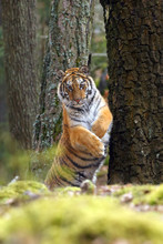 The Siberian Tiger (Panthera Tigris Tigris) Also Called Amur Tiger (Panthera Tigris Altaica) In The Forest, Young Female Tiger In The Forest Climbs On A Tree.