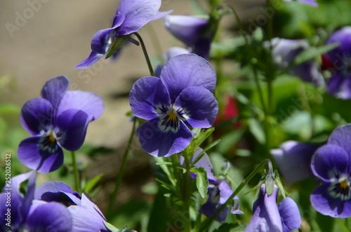 Fotografie, Obraz  Lila Blümchen mit grünen Blättern im verschwommenen Hintergrund / Purple flowers