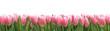 Tulipany panorama z białym tłem
