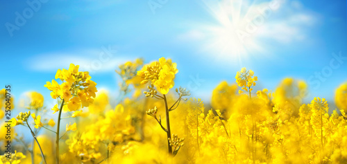 fototapeta na ścianę Rape flowers close-up against a blue sky with clouds in rays of sunlight on nature in spring, panoramic view. Growing blossoming rape, soft focus, copy space.